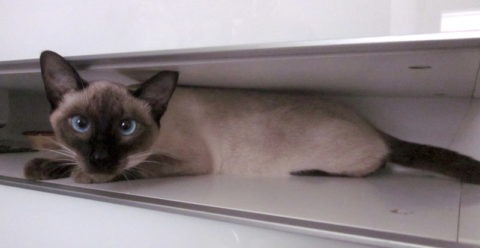 flat cat Kopie